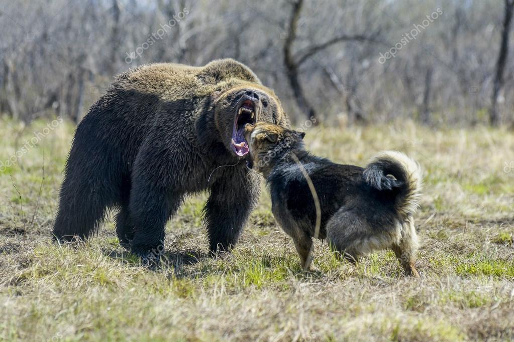 Großer Brauner Bär Mit Hund Stockfoto Alexs 100937852