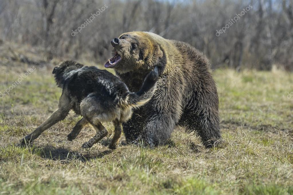 Großer Brauner Bär Mit Hund Stockfoto Alexs 100937858