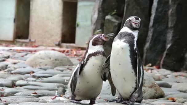 A pingvin tisztítja a tollak