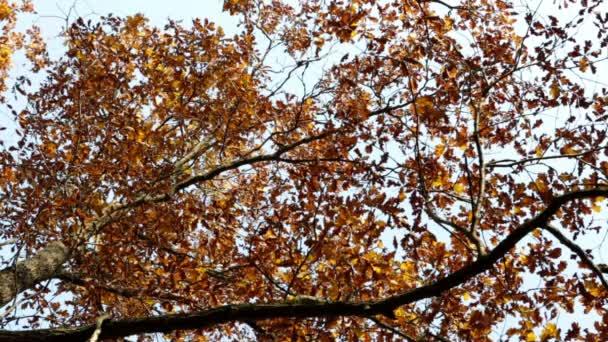 Listy opadávají ze světlé podzimní javor