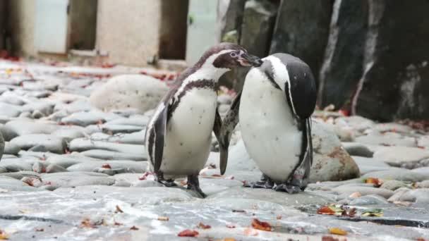két pingvinek tiszta toll