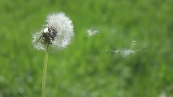 Lassú mozgás, zár fel, a bolyhos fehér gömböt elsöpri az erős nyári szél. Ismeretlen személy kíván valamit, és elfújja a törékeny pitypang virágzását a levegőbe..