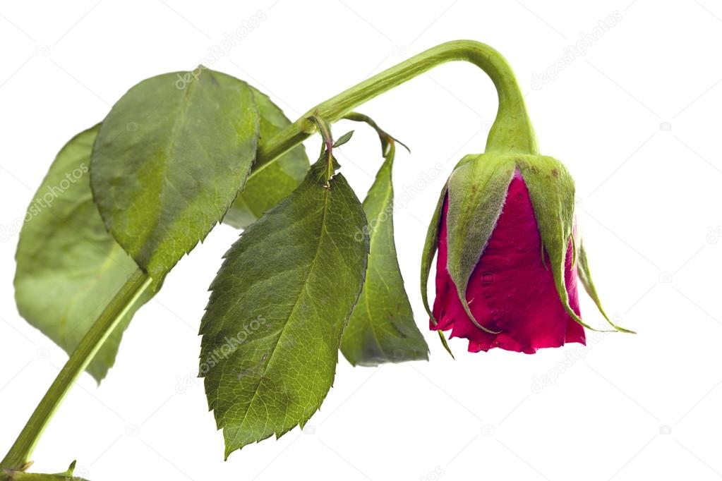 En blomma som vissnat