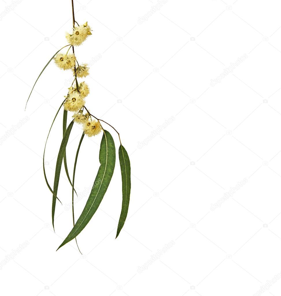 branche d'eucalyptus — photographie vaeenma © #74800197