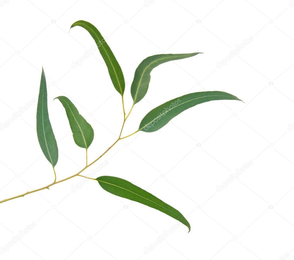 gros plan d'une branche d'eucalyptus — photographie vaeenma © #93450690