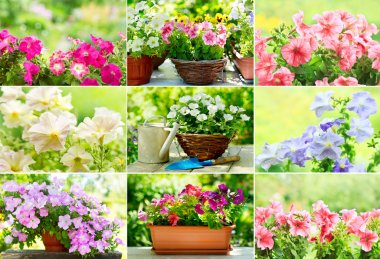 Collage of colorful petunia flowers in a garden stock vector