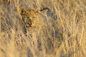 Lvice se pohybovat v hnědých trávy zabít
