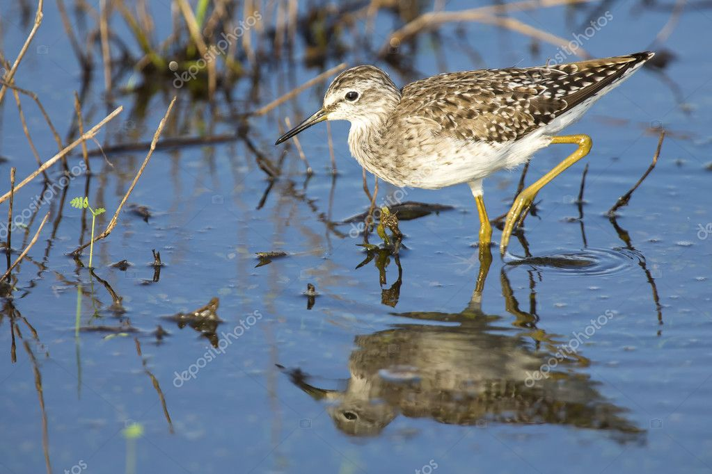 Wood sandpiper wading in shallow water with reflection
