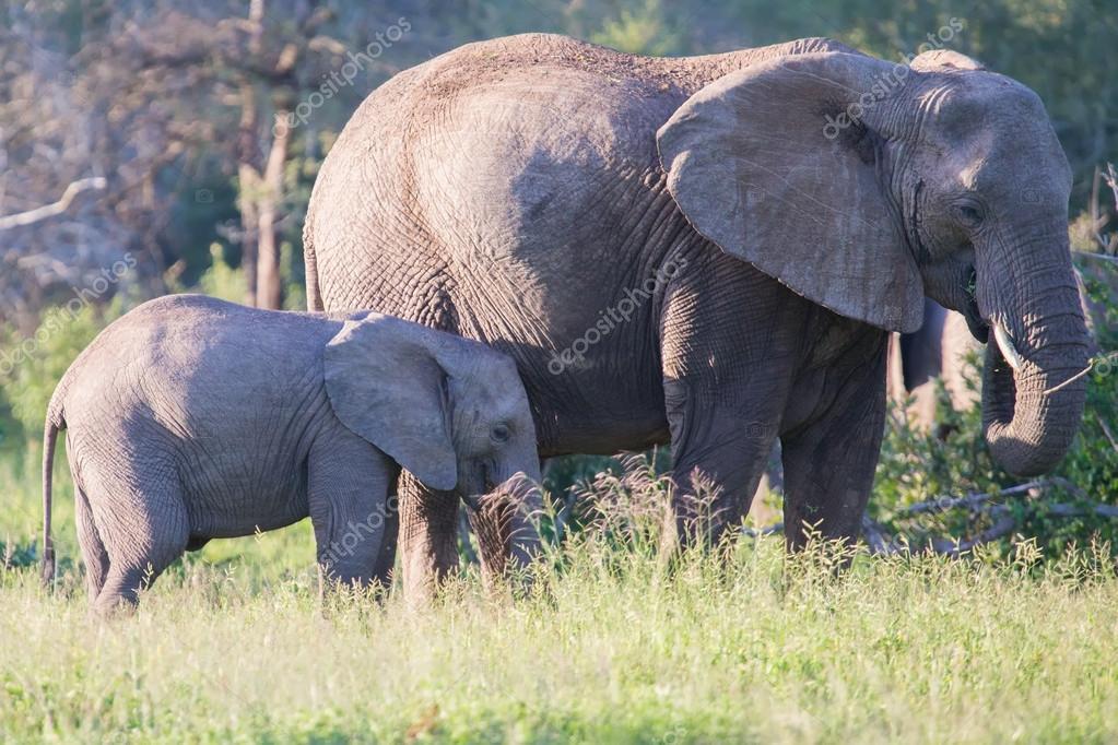 Корова-слон и теленок питаются длинной травой — Стоковое ...