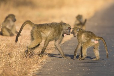 Young baboons playing in a road late afternoon before going back