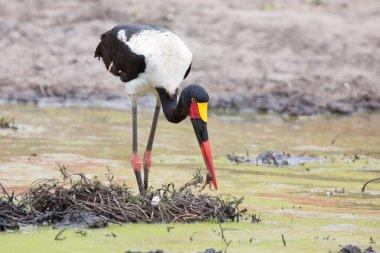 Saddle billed stork hunting for frogs in pond