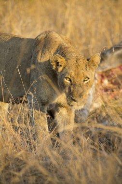 Lioness with freshly killed giraffe for breakfast