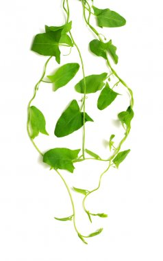 Green ivy isolated