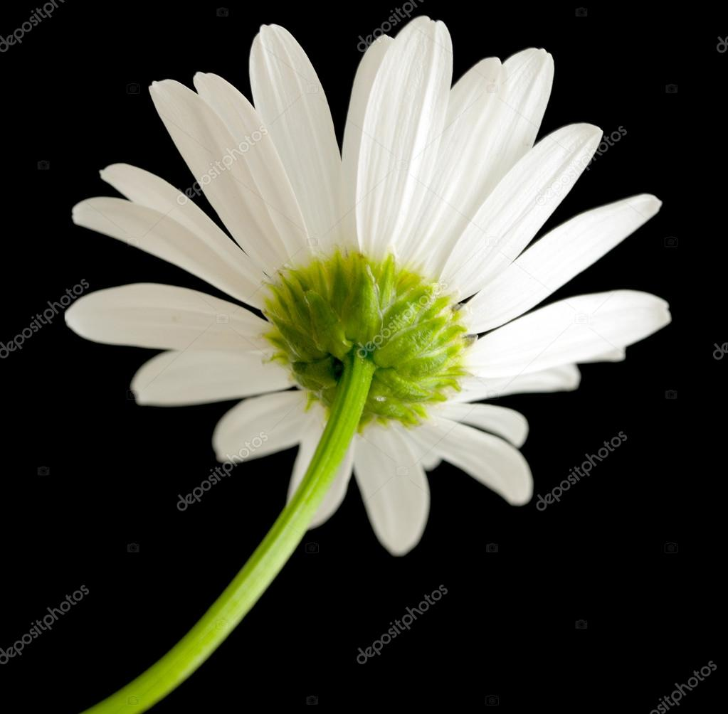 Macro shot of white daisy flower stock photo kzwwsko 65329017 macro shot of white daisy flower stock photo izmirmasajfo
