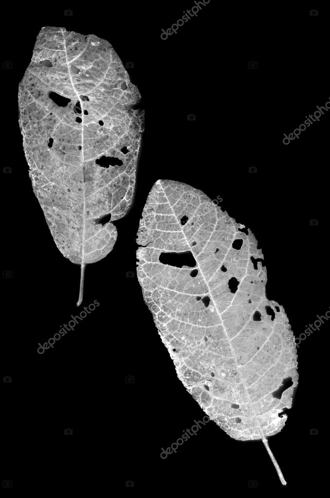 Leaves eaten by pests