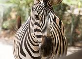 Zebra v safari parku