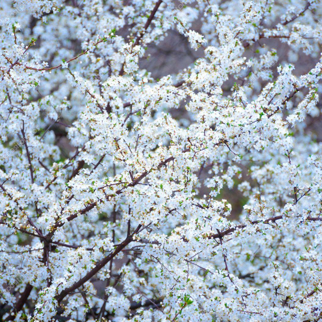 Fotografie Sfondi Fiori Di Ciliegio Primavera Fiore Di Ciliegio