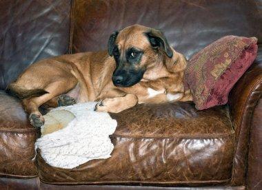 Dog Chews Hole in Leather Sofa