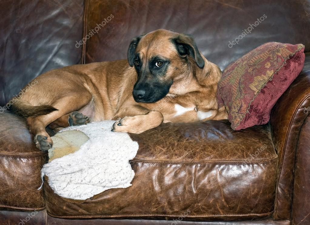 Dog Chews Hole In Leather Sofa Stock Photo C Ponytail1414 60799887
