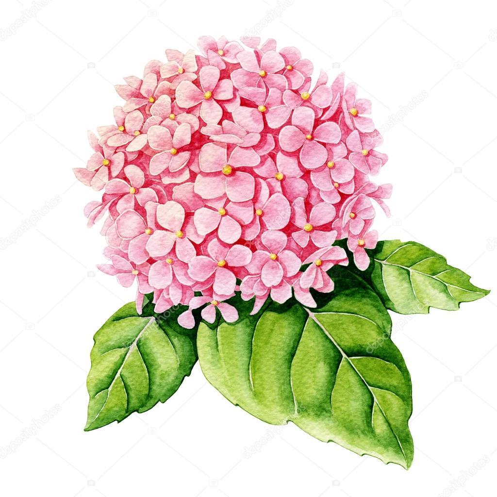 Pink hydrangea. Watercolor