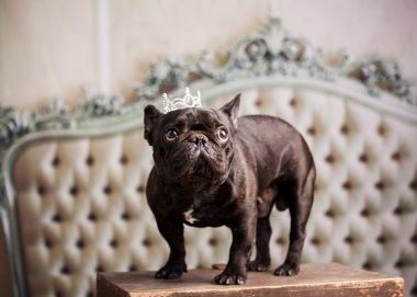 nice french bulldog