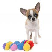 Fotografie krátkosrstá čivava štěně