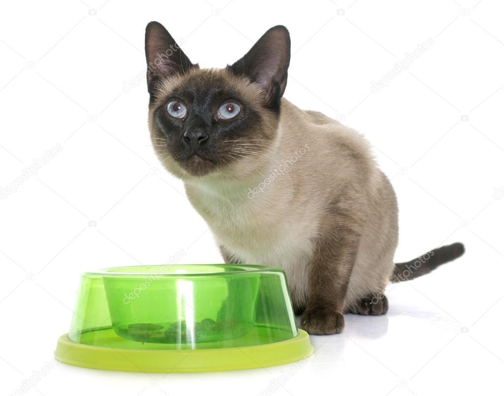 Jeść Kot Syjamski Zdjęcie Stockowe Cynoclub 103472816