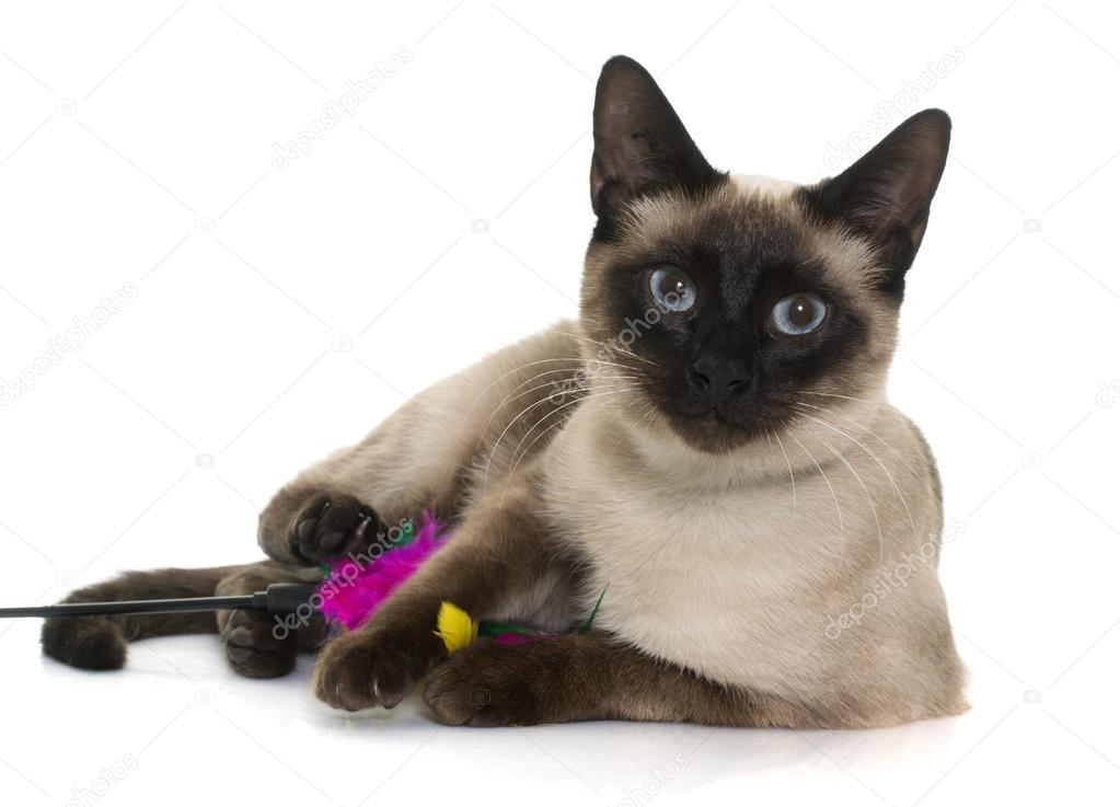 Młody Kot Syjamski Zdjęcie Stockowe Cynoclub 103472976