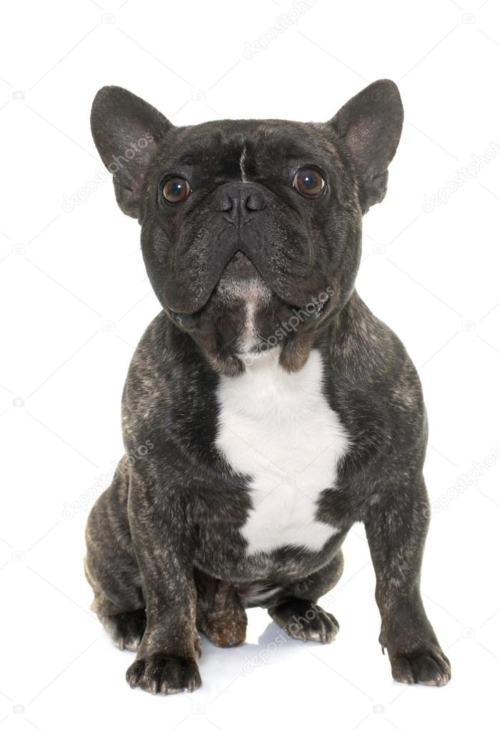Bulldog Francés Marrón Fotos De Stock Cynoclub 106512798