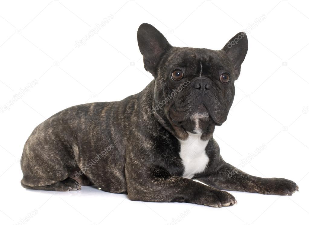 Bulldog Francés Marrón Fotos De Stock Cynoclub 106512816