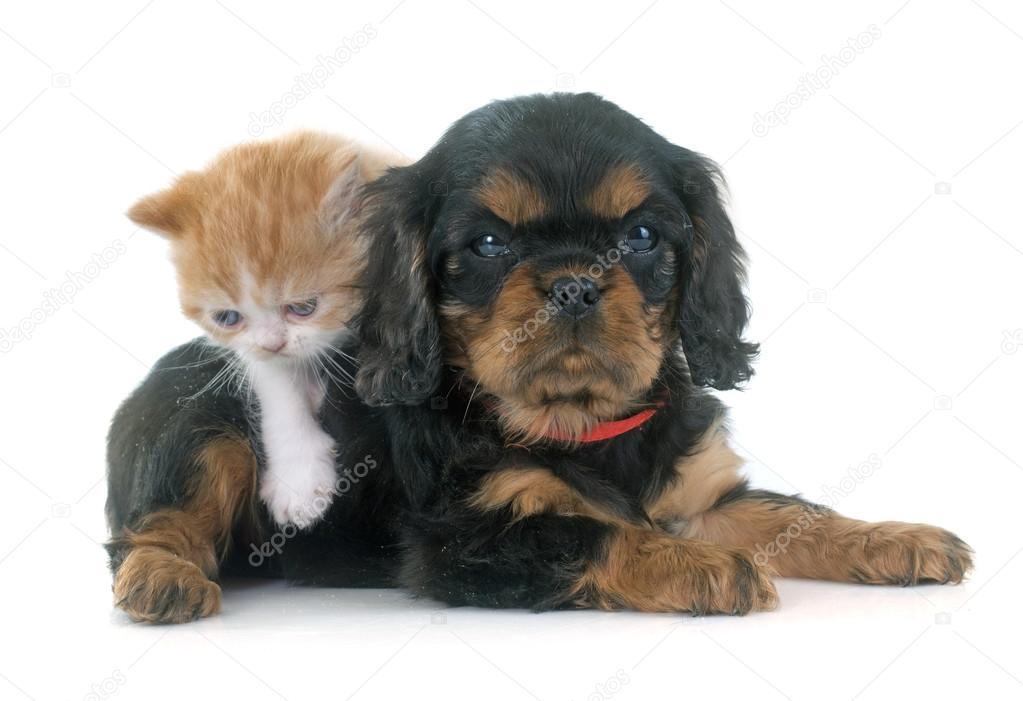Персидский котенок и щенок — Стоковое фото © cynoclub ...