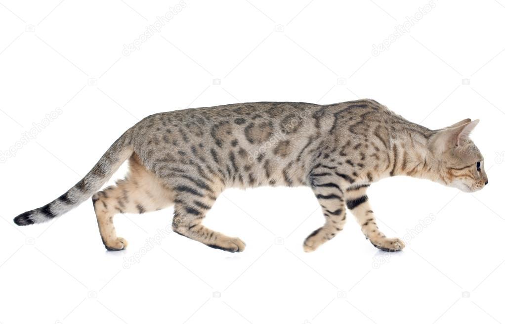 Srebrny Kot Bengalski Zdjęcie Stockowe Cynoclub 71360795