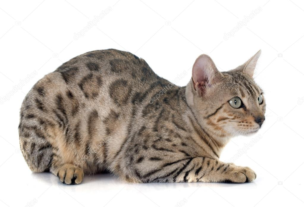 Srebrny Kot Bengalski Zdjęcie Stockowe Cynoclub 71360869