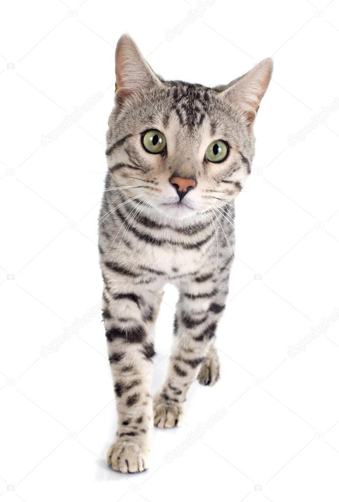 Srebrny Kot Bengalski Zdjęcie Stockowe Cynoclub 71360891