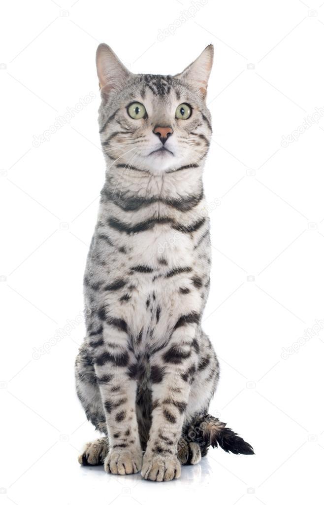 Srebrny Kot Bengalski Zdjęcie Stockowe Cynoclub 71360913