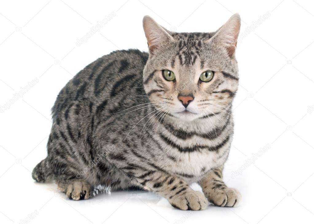 Srebrny Kot Bengalski Zdjęcie Stockowe Cynoclub 71360977