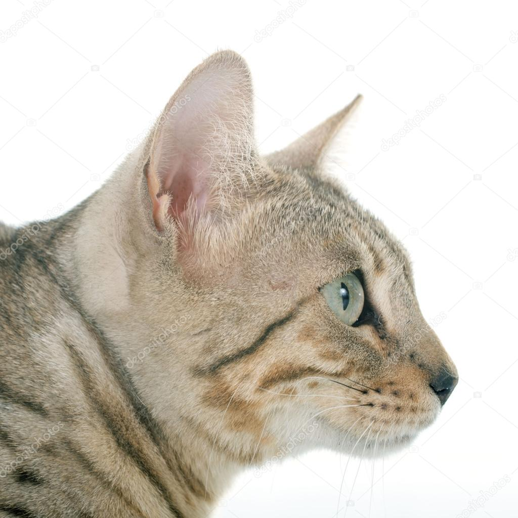 Srebrny Kot Bengalski Zdjęcie Stockowe Cynoclub 76015765