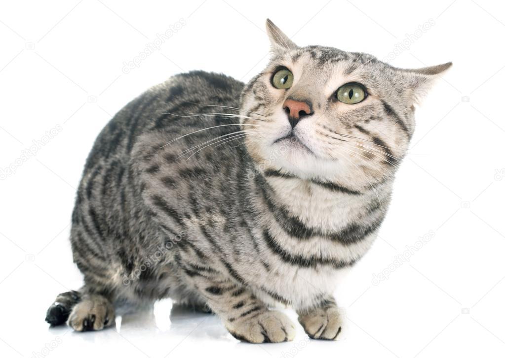 Srebrny Kot Bengalski Zdjęcie Stockowe Cynoclub 76472535