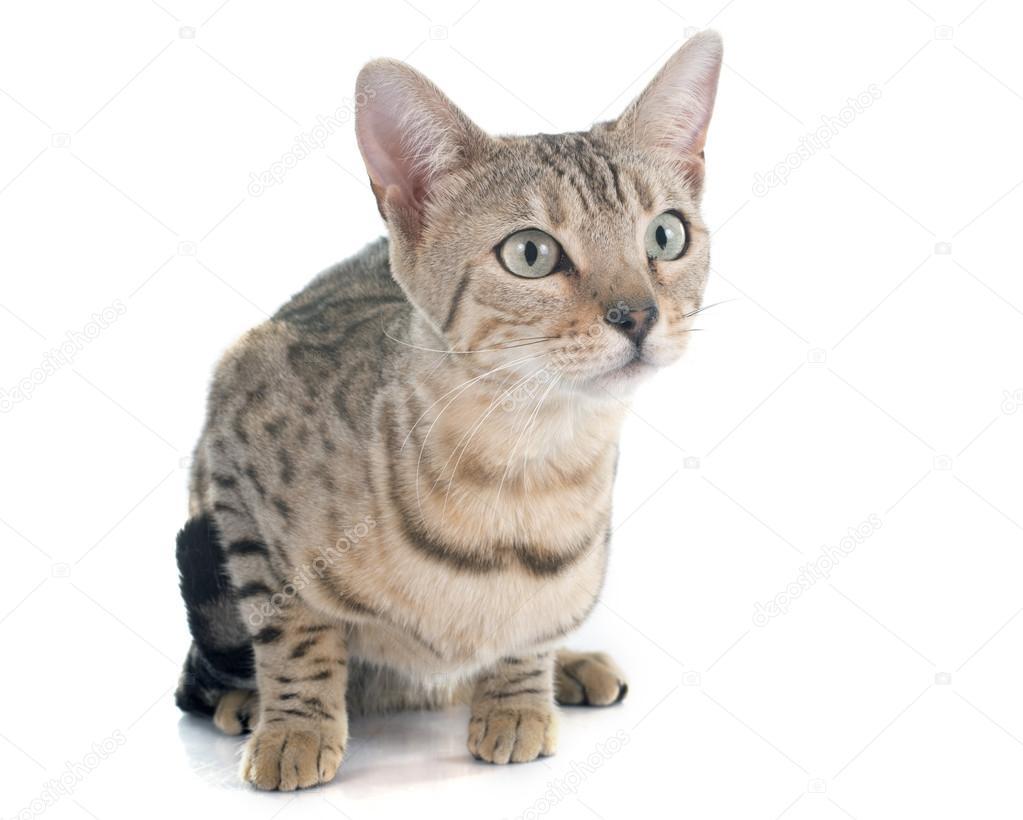 Srebrny Kot Bengalski Zdjęcie Stockowe Cynoclub 76472543