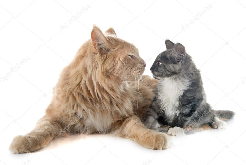 Мейн Кун Кошка и котенок — Стоковое фото © cynoclub #86642784