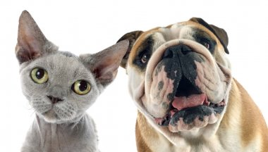 english bulldog and devon rex