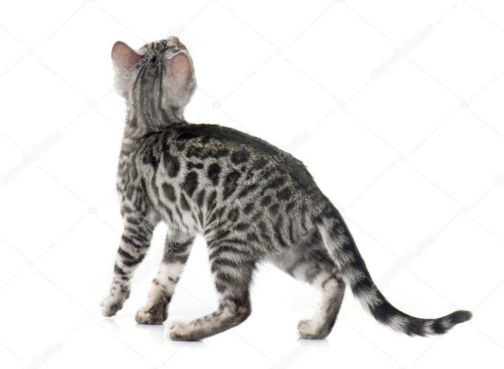 Szary Kot Bengalski Zdjęcie Stockowe Cynoclub 90002680