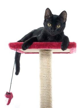 black kitten playing