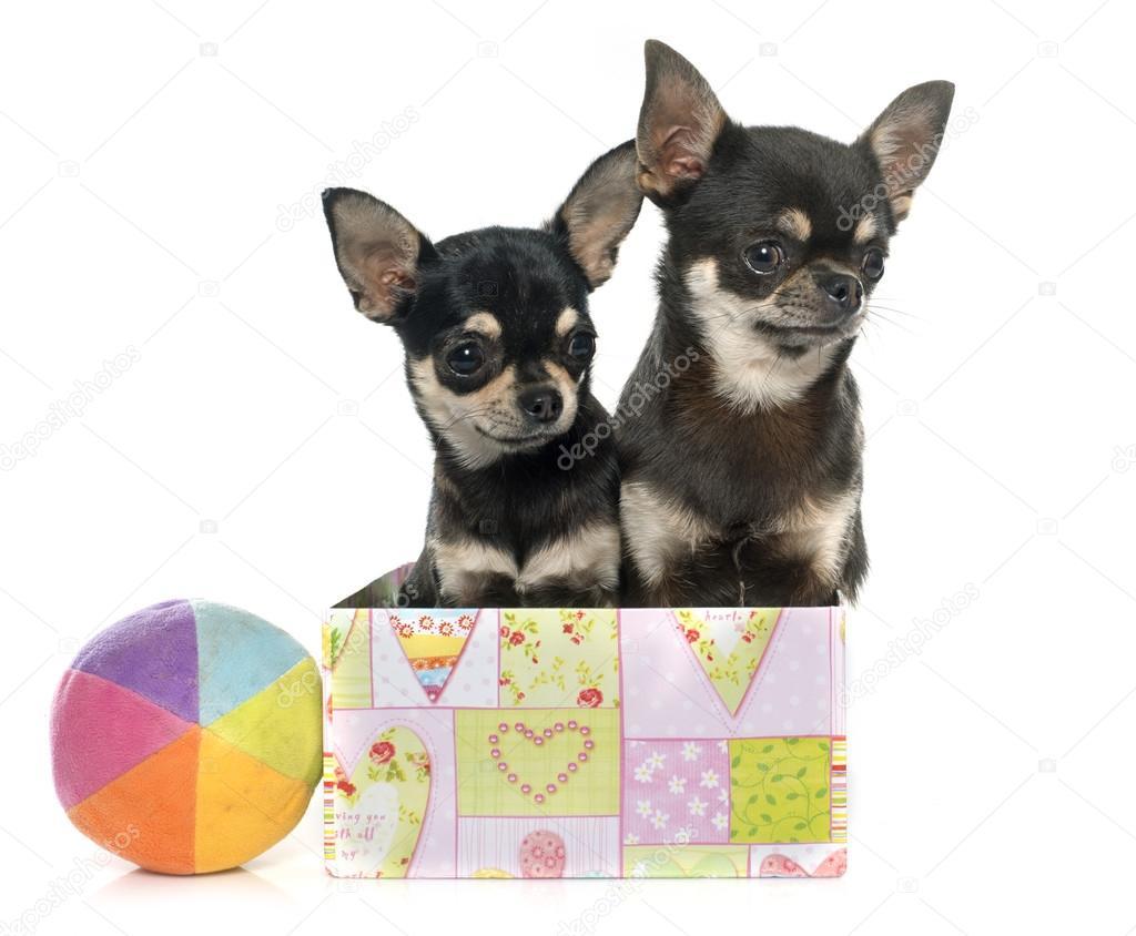 Chihuahua Cuccioli Di Razza Pura Foto Stock Cynoclub 92240668