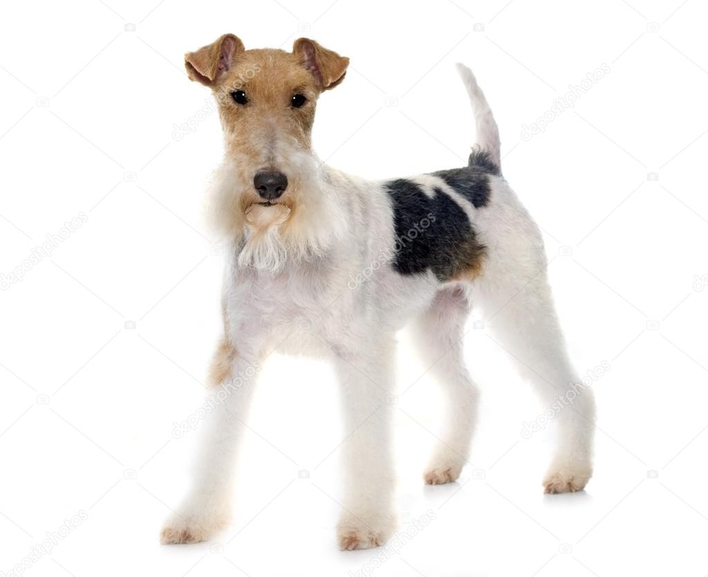 purebred fox terrier — Stock Photo © cynoclub #93404606