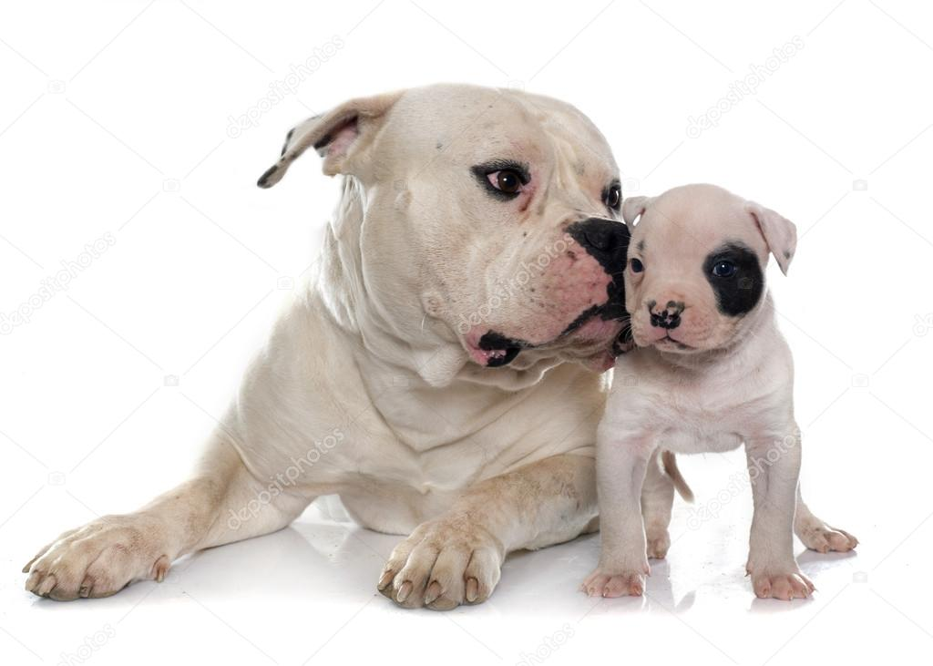Adulto E Filhote Bulldog Americano Stock Photo Cynoclub 95440938