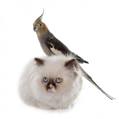 british longhair kitten and cockatiel