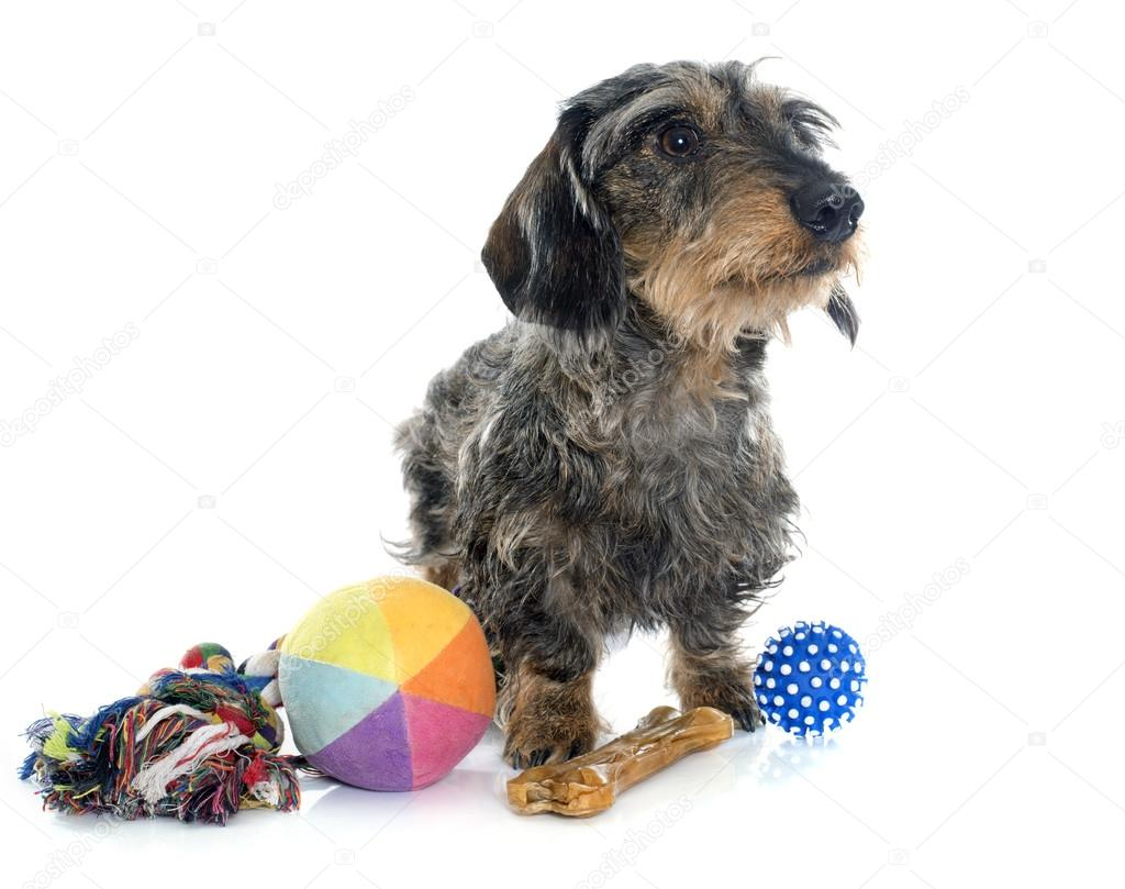 Wire haired dachshunds and toys — Stock Photo © cynoclub #97872742