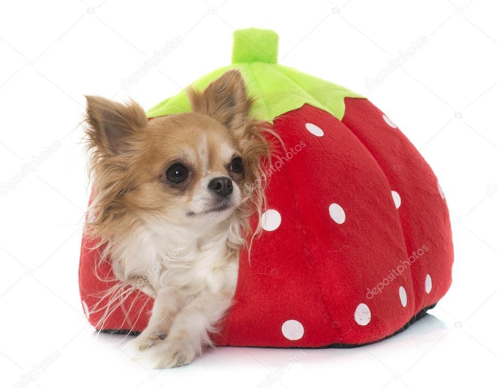 Jeune Petit Chihuahua Au Lit Pour Chien Photographie Cynoclub