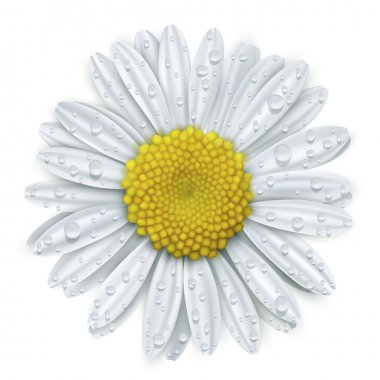Daisy flower with water drops